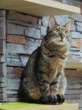 Красивый зеленый цвет наблюдал коричневый кот tabby сидя вниз стоковое фото