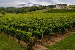 Красивый зеленый виноградник в Хорватии (Istria) стоковые фото