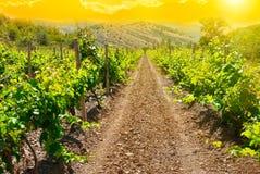 Красивый зеленый виноградник на времени захода солнца Стоковое Изображение