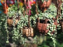 Красивый зеленый завод creeper внутри wooven nummul Dischidia корзины Стоковое Фото