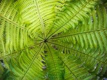 Красивый зеленый папоротник Стоковая Фотография