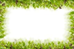 Красивый зеленый цвет выходит рамка на белую предпосылку или свежий зеленый цвет Стоковая Фотография