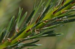 Красивый зеленый цвет, ель Стоковое фото RF