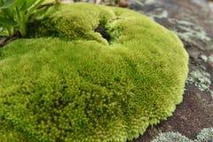Красивый зеленый цвет лишайника Стоковые Изображения