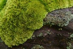 Красивый зеленый цвет лишайника Стоковые Изображения RF
