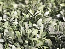 Красивый зеленый creeper для nummularia Var Dischidia предпосылки Стоковое Изображение RF