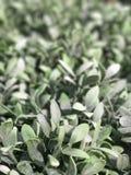 Красивый зеленый creeper для nummularia Var Dischidia предпосылки Стоковые Фотографии RF