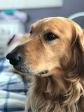 Красивый золотой Retriever с глазами Брауна стоковая фотография