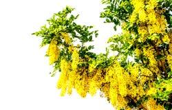 Красивый золотой ливень стоковые фото