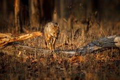 Красивый золотой jackal в славном мягком свете в Индии стоковые изображения rf