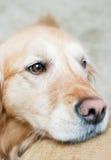 Красивый золотой retriever Стоковая Фотография