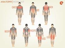 Красивый дизайн анатомии для разработки на спортзале состоит из комода иллюстрация штока
