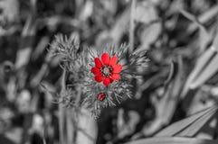 Красивый изолированный красный цветок в поле Стоковое Изображение RF