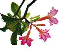 Красивый изолированный цветок Стоковая Фотография