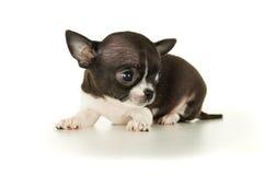 Красивый изолированный щенок чихуахуа стоковое фото rf