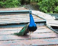 Красивый индийский павлин - cristatus идя на крышу, b Pavo Стоковая Фотография