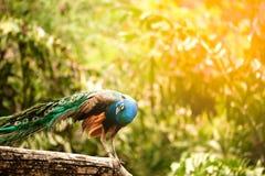 Красивый индийский павлин - cristatus Pavo Стоковое Фото
