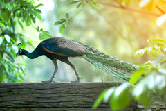 Красивый индийский павлин - cristatus Pavo Стоковые Фотографии RF