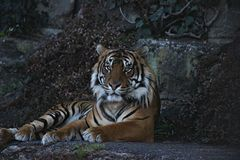 Красивый и величественный дикий тигр Бенгалии сидя на утесе стоковое изображение rf