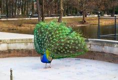 Красивый и красочный павлин в королевских ваннах паркует Варшава, Польша стоковое фото