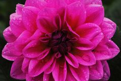 Красивый и красочный цветок; dhalia Стоковые Фото