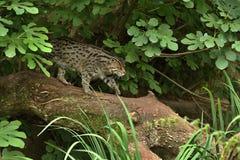 Красивый и неуловимый кот рыбной ловли в среду обитания природы около воды стоковая фотография