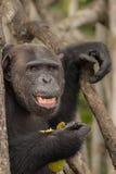 Красивый и славный шимпанзе в Африке Стоковое фото RF