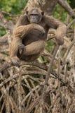 Красивый и славный шимпанзе в среду обитания природы в Африке Стоковое Фото