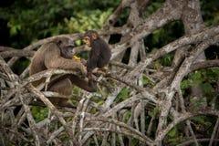 Красивый и славный шимпанзе в среду обитания природы в Африке Стоковые Фотографии RF