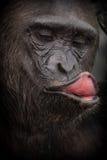 Красивый и славный шимпанзе в среду обитания природы Стоковые Изображения