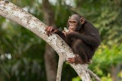 Красивый и славный шимпанзе в среду обитания природы Стоковое Фото