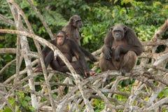 Красивый и славный шимпанзе в среду обитания природы Стоковые Изображения RF