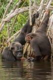 Красивый и славный шимпанзе в среду обитания природы Стоковое Изображение