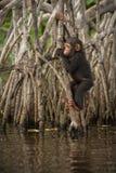 Красивый и славный шимпанзе в среду обитания природы Стоковые Фото