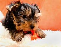 Красивый йоркширский терьер щенка Стоковое фото RF