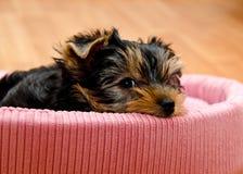 Красивый йоркширский терьер щенка Стоковые Изображения