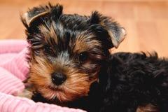 Красивый йоркширский терьер щенка Стоковые Фото