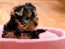 Красивый йоркширский терьер щенка Стоковая Фотография