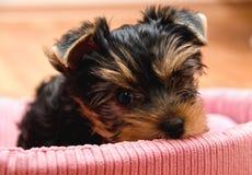 Красивый йоркширский терьер щенка Стоковое Изображение RF