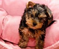 Красивый йоркширский терьер щенка Стоковые Фотографии RF