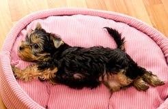Красивый йоркширский терьер щенка Стоковое Изображение