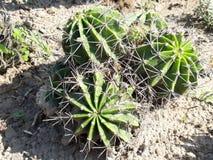 Красивый кактус в саде стоковые фотографии rf