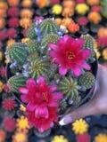 Зацветая кактус стоковое фото rf