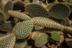 Красивый кактус opuntia выходит предпосылка и текстура Стоковые Изображения