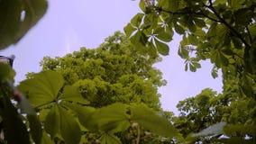 Красивый каштан Вверх ногами взгляд верхней части дерева против голубого неба Очень красивое дерево видеоматериал
