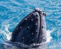 Красивый кит Стоковые Изображения RF