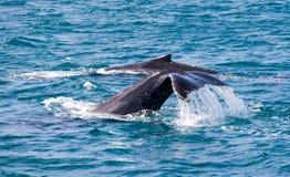 Красивый кит Стоковое Изображение