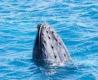 Красивый кит Стоковое Изображение RF