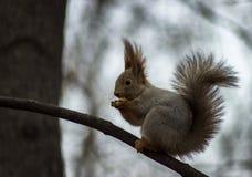 Красивый конец белки вверх сидя на ветви и ест гайки Стоковая Фотография