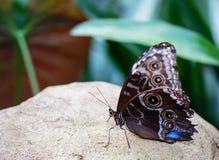 Красивый конец вверх большой бабочки сыча отдыхая на большом валуне с естественной зеленой предпосылкой лист Стоковые Изображения RF